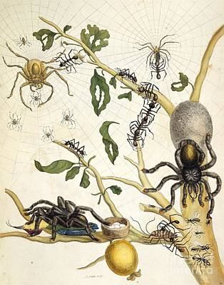 Huntsman Spider Photograph - Ants And Spiders Of Surinam, 18th Century by British Library