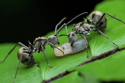 Larvae Photograph - Ants Carrying Larvae by Melvyn Yeo
