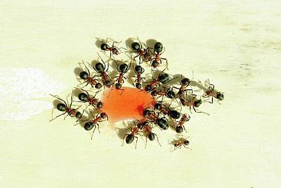 Ant Photograph - Ants Feeding by Heiti Paves