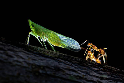 Ant Wall Art - Photograph - Ants Milking A Planthopper by Melvyn Yeo