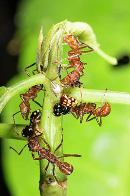 Tending Photograph - Ants Tending Treehoppers by Dr Morley Read