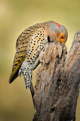 Feeding Flicker Art Print by Bill Wakeley