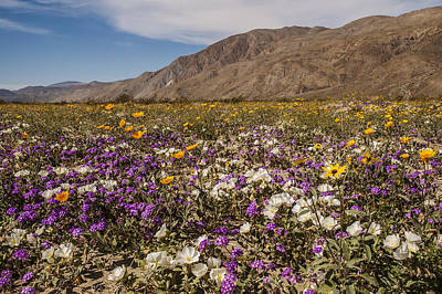 Photograph - Anza-borrego Wildflowers 1 by Lee Kirchhevel