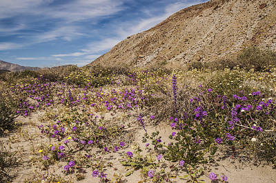 Photograph - Anza-borrego Wildflowers 12 by Lee Kirchhevel