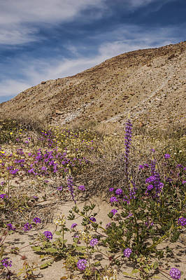 Photograph - Anza-borrego Wildflowers 13 by Lee Kirchhevel