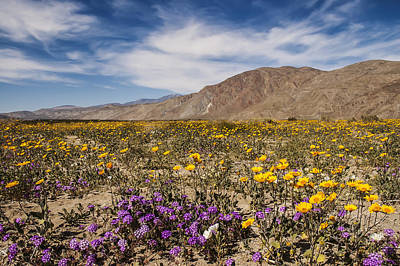 Photograph - Anza-borrego Wildflowers 14 by Lee Kirchhevel