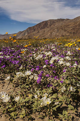 Photograph - Anza-borrego Wildflowers 24 by Lee Kirchhevel