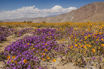 Photograph - Anza-borrego Wildflowers 25 by Lee Kirchhevel
