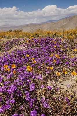 Photograph - Anza-borrego Wildflowers 26 by Lee Kirchhevel