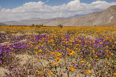 Photograph - Anza-borrego Wildflowers 27 by Lee Kirchhevel