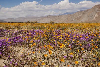 Photograph - Anza-borrego Wildflowers 27 by Lee Kirchhevel