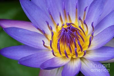Photograph - Ao Lani Heavenly Light  Nymphaea Nouchali by Sharon Mau