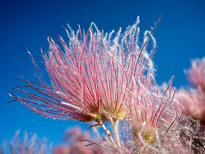 Photograph - Apache Plume by Mary Lee Dereske