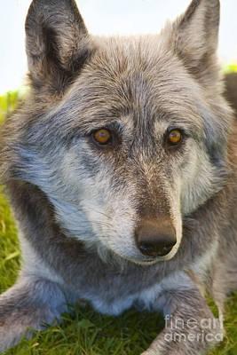Photograph - Apache The Wolf by Steve Krull