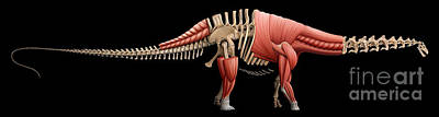 Muscular Digital Art - Apatosaurus Skeleton And Muscles by Mohamad Haghani