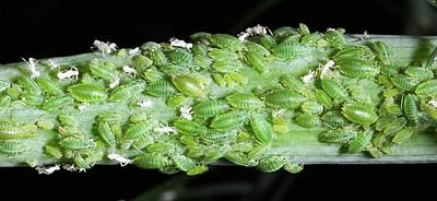 Aphids On Fennel Art Print