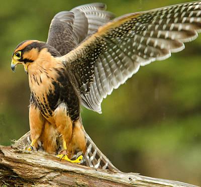 Aplomado Falcon Original