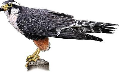 Photograph - Aplomado Falcon by Roger Hall