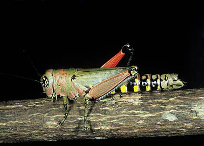 Grasshopper Wall Art - Photograph - Aposematically Coloured Grasshopper by Sinclair Stammers/science Photo Library