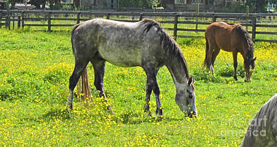 Photograph - Appaloosa Horse Grazing In Buttercup Filled Pasture by Valerie Garner