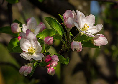 Apple Blossom 3 Art Print by Carl Engman