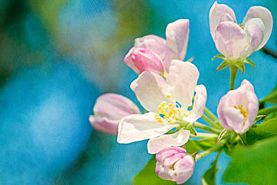 Rosaceae Photograph - Apple Blossom by Alexander Senin