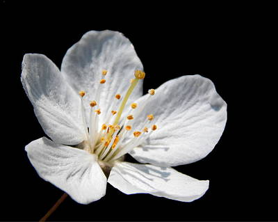 Photograph - Apple Blossom by Chris Cox