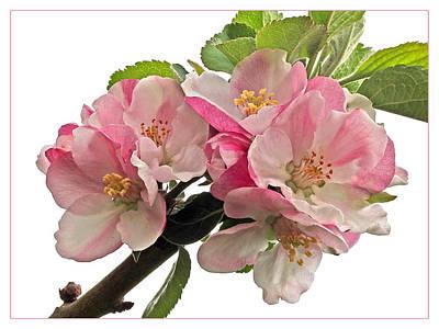 Apple Blossom Art Print by Gill Billington