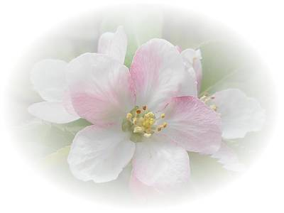 Photograph - Apple Blossom by Judy Hall-Folde