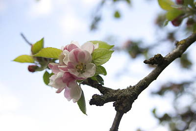 Photograph - Apple Blossom by Maeve O Connell