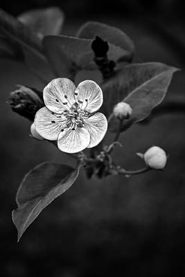 Photograph - Apple Blossom On The Farm by Ben Shields