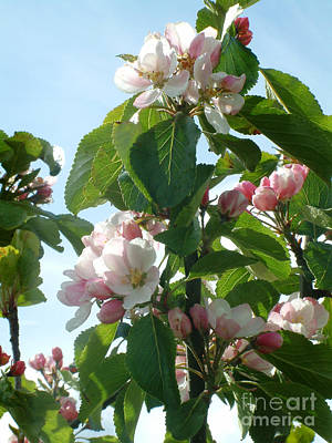 Photograph - Apple Blossom by Phil Banks