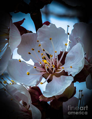 Photograph - Apple Blossom by Robert Bales