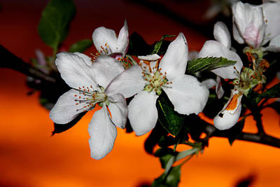 Apple Blossom Sunrise I Art Print