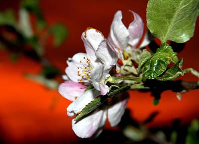Photograph - Apple Blossom Sunrise II by David Yocum