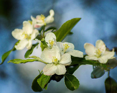 Photograph - Apple Blossom Time by Bill Pevlor