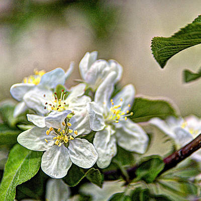 Photograph - Apple Blossom Time by Roger Passman