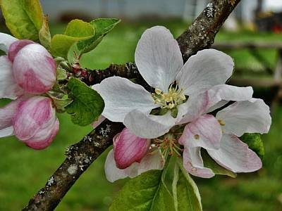 Photograph - Apple Blossoms 3 by VLee Watson