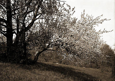 Apple Blossoms, Apple Trees, Flowers Print by Litz Collection