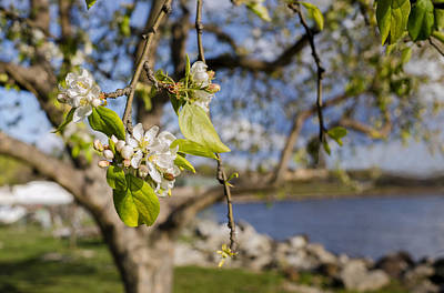 Photograph - Apple Blossoms By The Hudson River by Marianne Campolongo