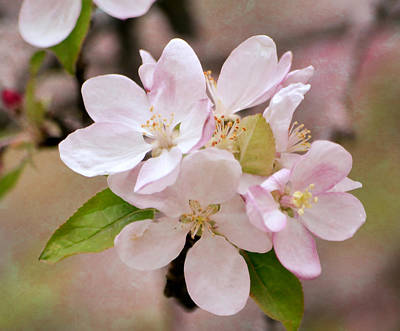 Photograph - Apple Blossoms by Deena Stoddard