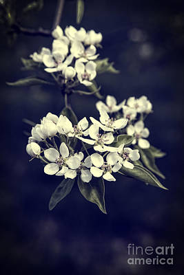 Lebanon Photograph - Apple Blossoms by Edward Fielding