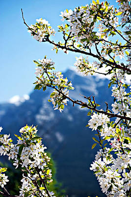 Photograph - Apple Blossoms Frame The Rockies by Lisa Knechtel