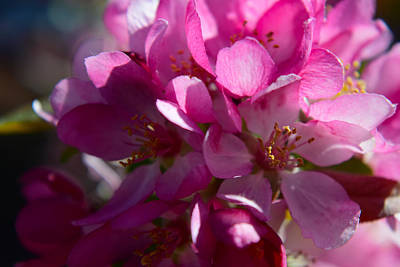 Photograph - Apple Blossoms In Spring by Frank Wilson