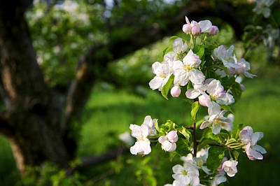 Photograph - Apple Blossoms In The Orchard by Mary Lee Dereske