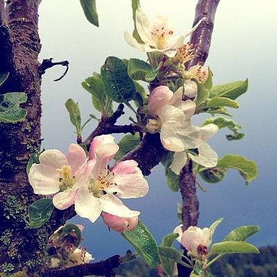 Apple Blossoms Right Outside My Studio Art Print
