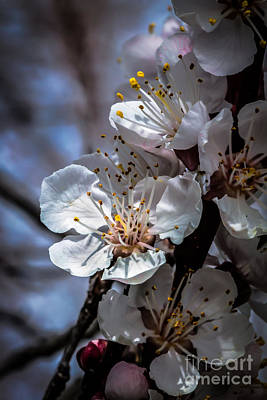 Photograph - Apple Blossoms by Robert Bales