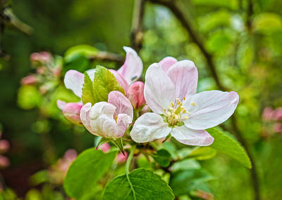 Photograph - Apple Blossoms by Ronda Broatch