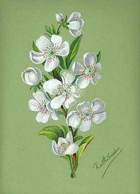 Drawing - Apple Blossoms by Ruth Seal