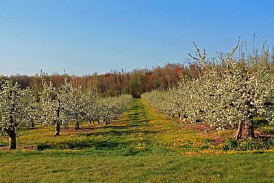 Photograph - Apple Blossoms Sterling Ma by Michael Saunders